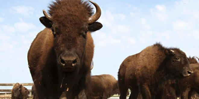Visitors to Yellowstone Park seem to be having trouble taking in the message that it's not a good idea to get too close to the wild bison that roam the wilderness.