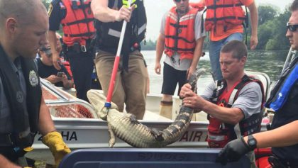 VIDEO Alligator caught in Passaic River, Elmwood Park