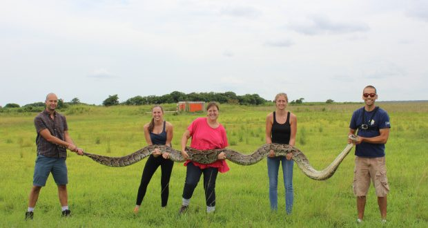 Huge Python 18 Feet Long Captured At Shark Valley In Everglades National Park