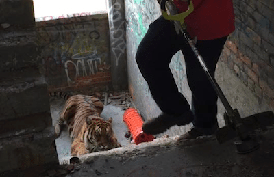 Photo Shoot Gone Wrong, Live Tiger gets Loose inside Detroit's Packard Plant