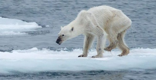 Shocking Photograph Reveals The Future of Polar Bears Due to Climate Change