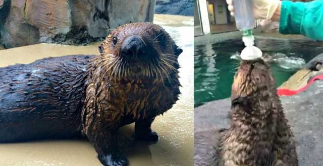 VIDEO 'Mishka' Asthmatic Sea Otter Learns to Use an Inhaler