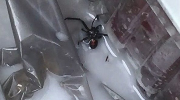 Black Widow Spider Found in Bag of Grapes says Woman
