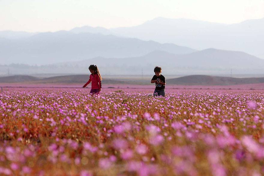 After Historic Rainfall Flowers Bloom in Chilean Atacama Desert