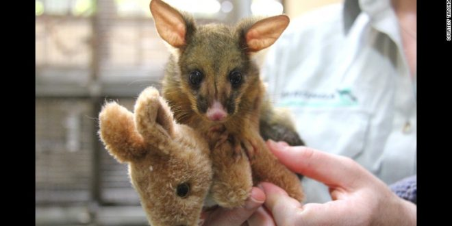 Orphaned Baby Possum Snuggles With Toy Kangaroo