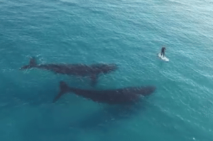 VIDEO Drone Captures Whales Near Standup Paddle Boarder In Stunning 4K Video