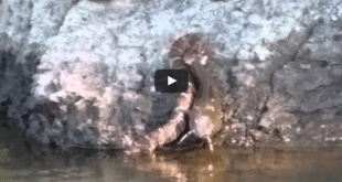 VIDEO Snake Snags, Drags Catfish of Lake in Rolesville, North Carolina