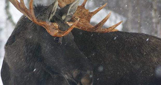 Polar Park Arctic Wildlife Center: Hunter Says He Accidentally Shot 2 Elk in Norway Zoo