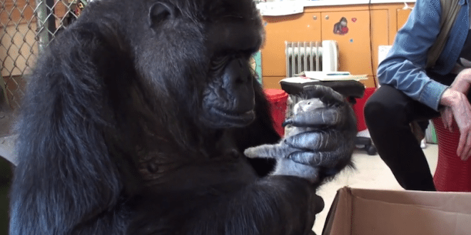 VIDEO Koko The Gorilla Adopts Two Baby Kittens and Asks to Put One on Her Head