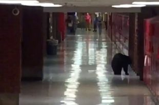 VIDEO Bear Gets Inside Bozeman High School Montana