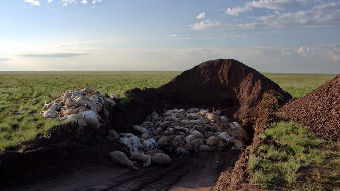 Saiga Antelopes: Half of World's Population of Endandered Species Died in 2015