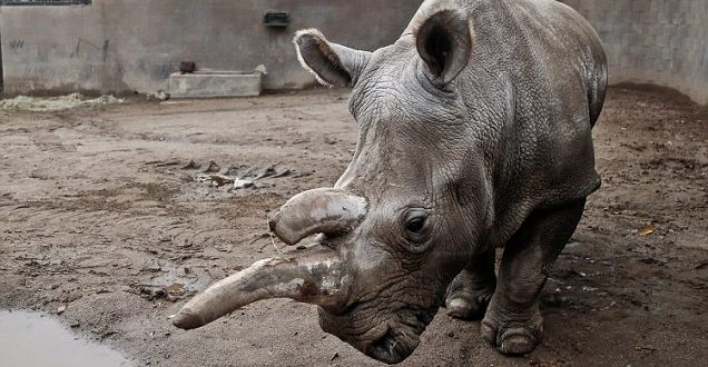 Endangered White Rhino Dies at San Diego Zoo, 3 Remain Alive in the World