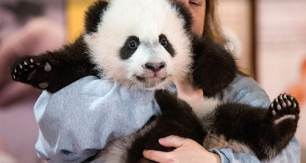 Smithsonian National Zoo: Bei Bei Panda Cub Makes Public Debut