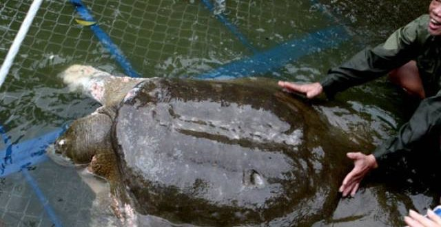 Vietnam Sacred Yangtze Giant Softshell Turtle Dies in Hanoi Lake