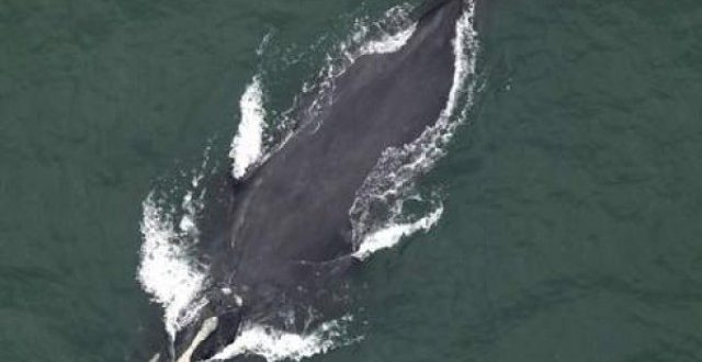 Folly Beach, South Carolina: Endangered Right Whale Sighting Confirmed