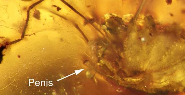 Fossilized Daddy Longlegs Maintains Erection For 99-Million-Years
