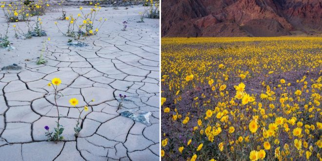 Recent Rainfall Causes Rare 'Super Bloom' of Wildflowers at Death Valley National Park