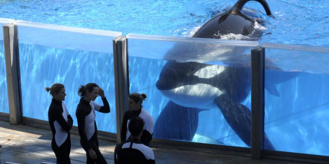 SeaWorld Says Health Of Tilikum The Killer Whale Is Deteriorating