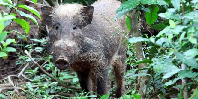 Indonesian Island Bawean Contains 1 of World's Rarest Pig Populations, Researcher Says
