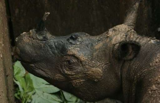 Sumatran Rhinoceros Dies Weeks After Landmark Discovery