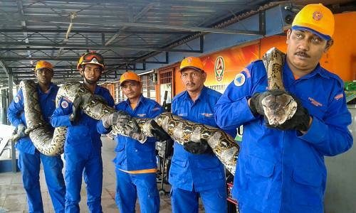 7.5-Meter-Long Python Dies After Laying Egg in Captivity in Malaysia