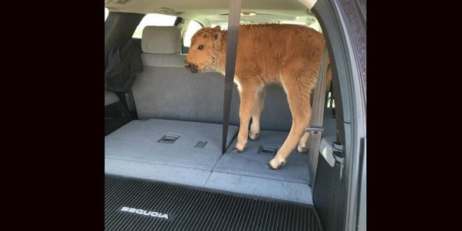 Tourists at Yellowstone National Park Put Bison Calf in Vehicle