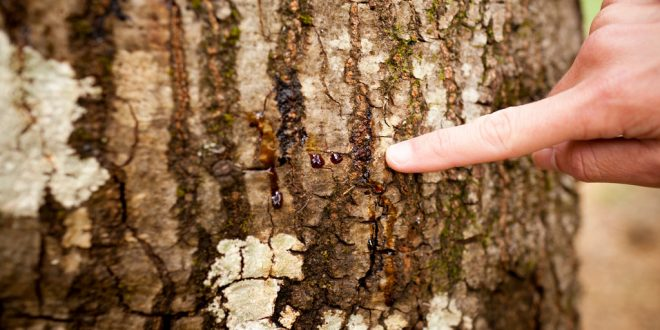 Phytophthora Ramorum: Eradication of Tree-Killing Disease in California Is 'Not Possible'