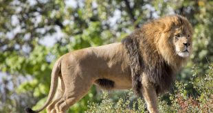 http://www.denverpost.com/news/ci_29840819/denver-zoo-loses-mane-attraction-3-year-old