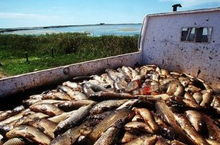 Australia to Use Herpes Virus to Eliminate European Carp Infestation in River System