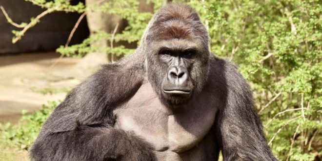 Cincinnati Zoo Gorilla killing Sparks Probe into Possible Criminal Charges