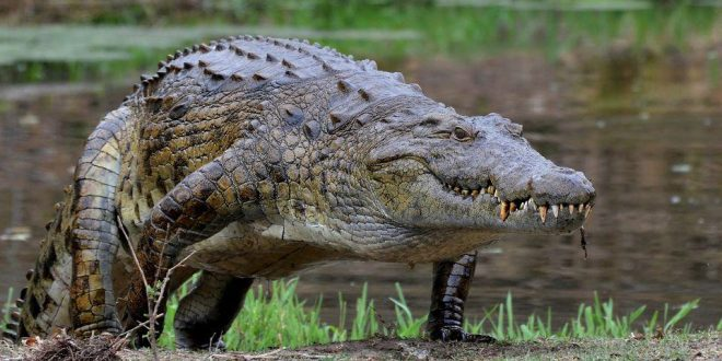 3 Killer Nile Crocodiles Captured Near Miami, More of Species Likely in Florida