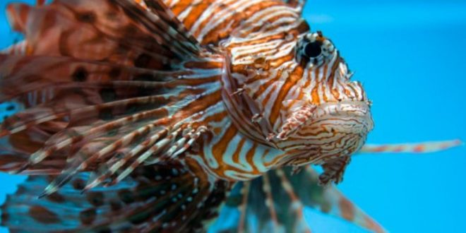 Venomous Tropical Lionfish May Be Spreading in Mediterranean
