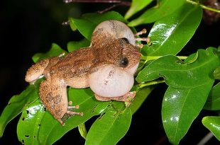 Biologists Say They've Discovered New Mating Position for Bombay Night Frog