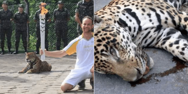 Jaguar Shot Dead at Olympic Torch Ceremony in Manaus, Brazil