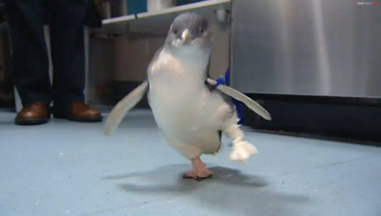 Further Kiwi ingenuity has seen a wounded penguin named Bagpipes receive a new leg, after a retired dentist made his daughter's duck a new beak.