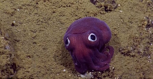 EV Nautilus: Research Vessel Finds 'Googly-Eyed' Stubby Squid Off California Coast