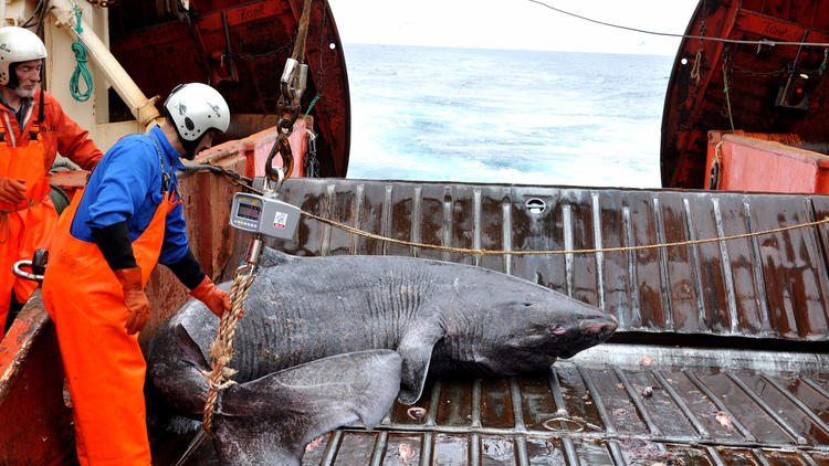 A Greenland shark caught as bycatch is examined on the research vessel Pâmiut in southwest Greenland. (Julius Nielsen)