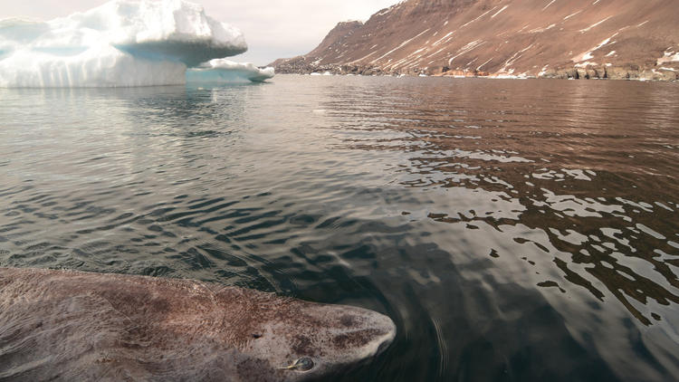 A Greenland shark in the icy waters of Disko Bay off the coast of western Greenland. (Julius Nielsen)