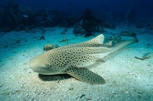 Virgin Birth: Female Zebra Shark Has Babies Without Mating