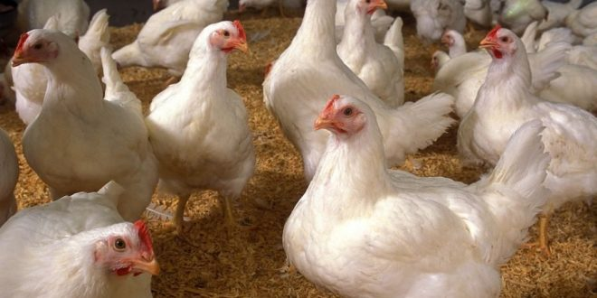 Bird Flu Found at Tennessee Chicken Farm Affiliated With Tyson Foods
