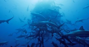 Great White Sharks Gather in Droves in the Middle of Nowhere, But Why?