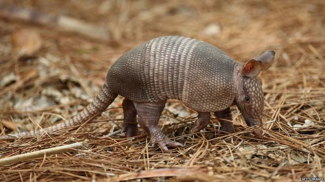 Texas Man Wounded as Bullet Ricochets off Armadillo and Hits Him in Head