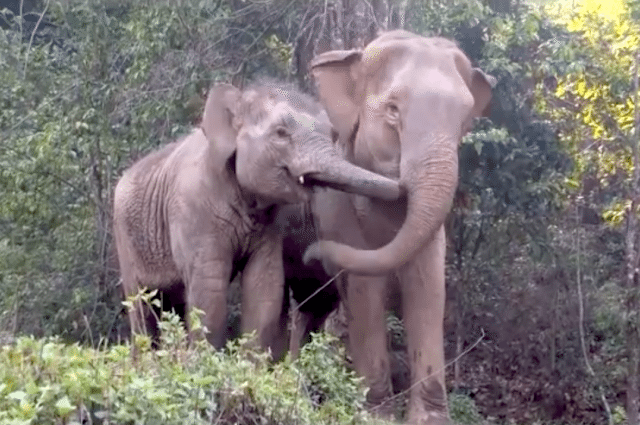 Baby Elephant Reunited With Mother Years After Being Kidnapped