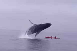 Video Humpback Whale Jumping into 2 kayakers