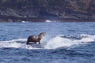 Seal Hitches Ride on Whale's Back