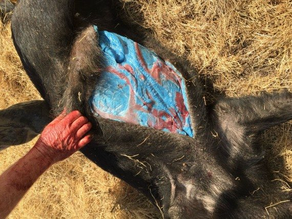 Wild Pig with Mysterious Blue Fat Found in Morgan Hill, California
