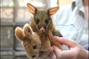 Orphaned Baby Possum Snuggles With Toy Kangaroo