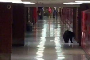 VIDEO Bear Gets Inside Bozeman High School Montana
