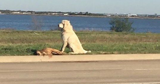 VIDEO Dog Found Standing Guard over Body of Fallen Friend