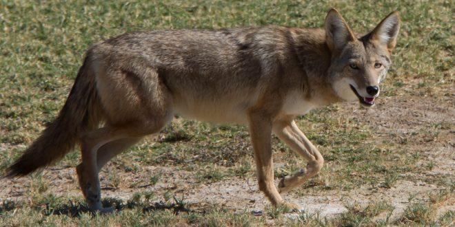 Coyote Caught Inside Myrtle Beach International Airport